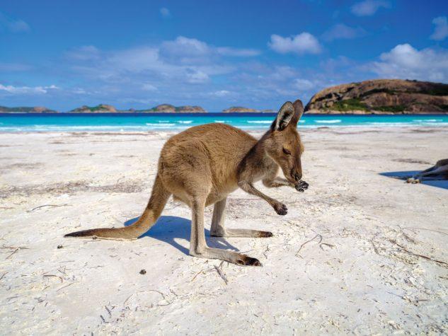 A kangaroo on the beach near Esperance